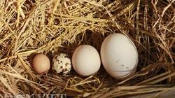 Hà Nội: Gà đẻ trứng bé hơn cả trứng chim cút