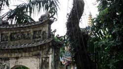 Hà Nội: Nhà chùa bị cưa trộm sưa 5 tỷ trong đêm