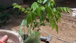 Lại đổ xô mua sưa giống về trồng