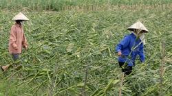 Triển khai bồi thường bảo hiểm nông nghiệp hậu bão số 7 và số 8