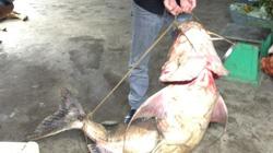 Bắt được cá hiếm nặng nửa tạ ở Cao Bằng