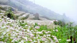 """Ngắm """"rừng"""" hoa tam giác mạch Hà Giang đẹp đến nao lòng"""