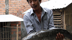 Cá lóc khủng nặng 6kg ở Tiền Giang