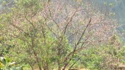 Đào rừng nở thắm Mường Lát ngày lập đông