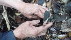 Tuyệt đối cấm khai thác cây kim cương bán sang Trung Quốc
