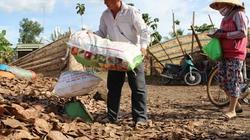 Gom lá khô để bán, nguy cơ suy kiệt vườn điều