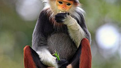 Cận cảnh loài khỉ đẹp nhất thế giới chỉ có ở Việt Nam
