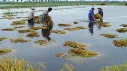 Thí điểm bảo hiểm nông nghiệp ở Hải Phòng: Hộ nghèo cũng chê