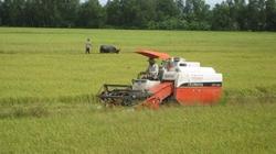 Triển khai đại trà cánh đồng mẫu lớn: Nan giải bài toán tiêu thụ