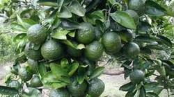 Hà Giang: Sản xuất cam sành không dùng thuốc trừ sâu