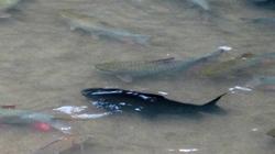 Cá Chúa đen tuyền xuất hiện ở suối Cá Thần?