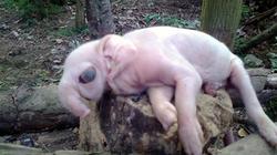 """Xôn xao lợn đẻ ra… """"voi"""""""