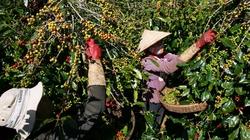 Hỗ trợ 100.000 nông dân trồng cà phê