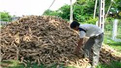 Người trồng sắn ở Quảng Trị bị ép giá