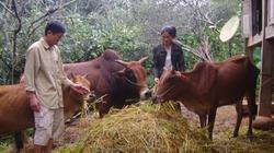 Cách phòng chống rét  cho trâu, bò