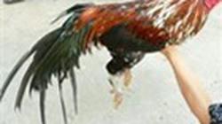 Bình Dương: Phá trường gà, bắt 14 đối tượng