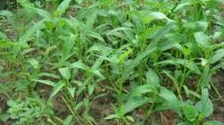 Trồng rau muống lấy hạt: Đầu tư ít, lãi cao
