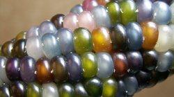 Bắp ngô nhiều màu lấp lánh như đá quý