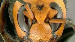 Trung Quốc: Ong độc hoành hành, hàng nghìn người thương vong