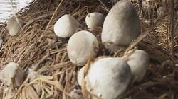Hà Tĩnh: Khai giảng lớp dạy trồng nấm