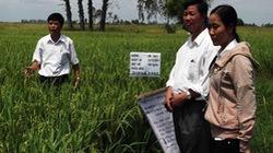 Sản xuất lúa đạt hiệu quả cao trên vùng đất phèn