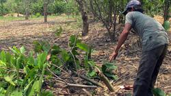 Lâm Đồng: Nông dân chặt bỏ ca cao