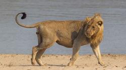 Kinh hoàng cảnh sư tử quật nhau chí tử tranh bữa... trâu khô