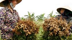 Sử dụng phân bón đa  yếu tố NPK Văn Điển cho cây đậu, lạc