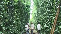 Quảng Trị:  Nông dân mê cây hồ tiêu - Lo!