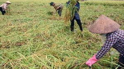 Thái Bình: Năng suất lúa mùa đạt 59,3 tạ/ha