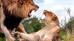 """NÓNG: Sư tử cái suýt mất mạng vì ... từ chối """"yêu"""""""