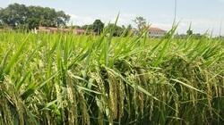 Thái Bình: Vụ mùa bội thu với giống lúa BC 15