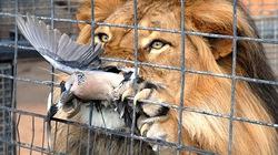 NÓNG: Bồ câu thoát chết khó tưởng tượng ngay trước miệng sư tử