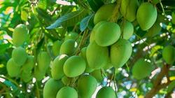 An Giang: 650 triệu đồng trồng xoài trái vụ