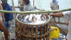 Vỡ mộng cá tra: Đã bị nợ còn bị chiếm dụng vốn