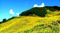 Đà Lạt mùa rực vàng hoa dã quỳ