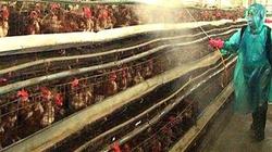 Thừa Thiên - Huế: Gà chết hàng loạt vì dịch tả