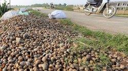 Thương lái Trung Quốc mua ốc bươu vàng làm gì?