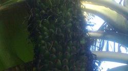 Buồng chuối dài hơn 2,5m, 130 nải, chi chít quả