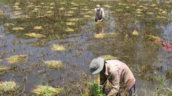 Đồng Tháp: Bảo hiểm cây lúa đạt kết quả khả quan