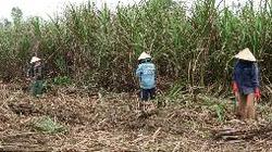 Bình định: Hỗ trợ nông dân xây dựng 4 cánh đồng lớn