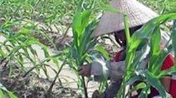 Quảng Trị: Phân bổ 60 tấn hạt giống ngô và rau