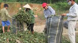 Đổ xô hái lá cò ke bán cho Trung Quốc
