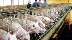 Doanh nghiệp FDI độc chiếm thị phần giống lợn siêu nạc