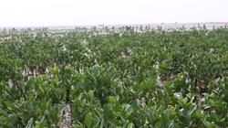 Bình Định: Trồng rừng ngập mặn ven đầm Thị Nại