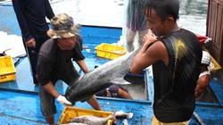 Xuất khẩu cá ngừ khó đạt chỉ tiêu