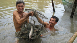 Kỹ thuật chăn nuôi cá lóc tại trại   thực nghiệm VIC