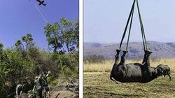 Giải cứu tê giác đen quý hiếm bằng trực thăng cực độc