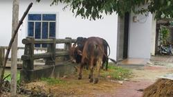 Quảng Ngãi: Đưa trâu bò lên phố tránh lũ