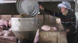 Làm phòng máy lạnh nuôi... lợn